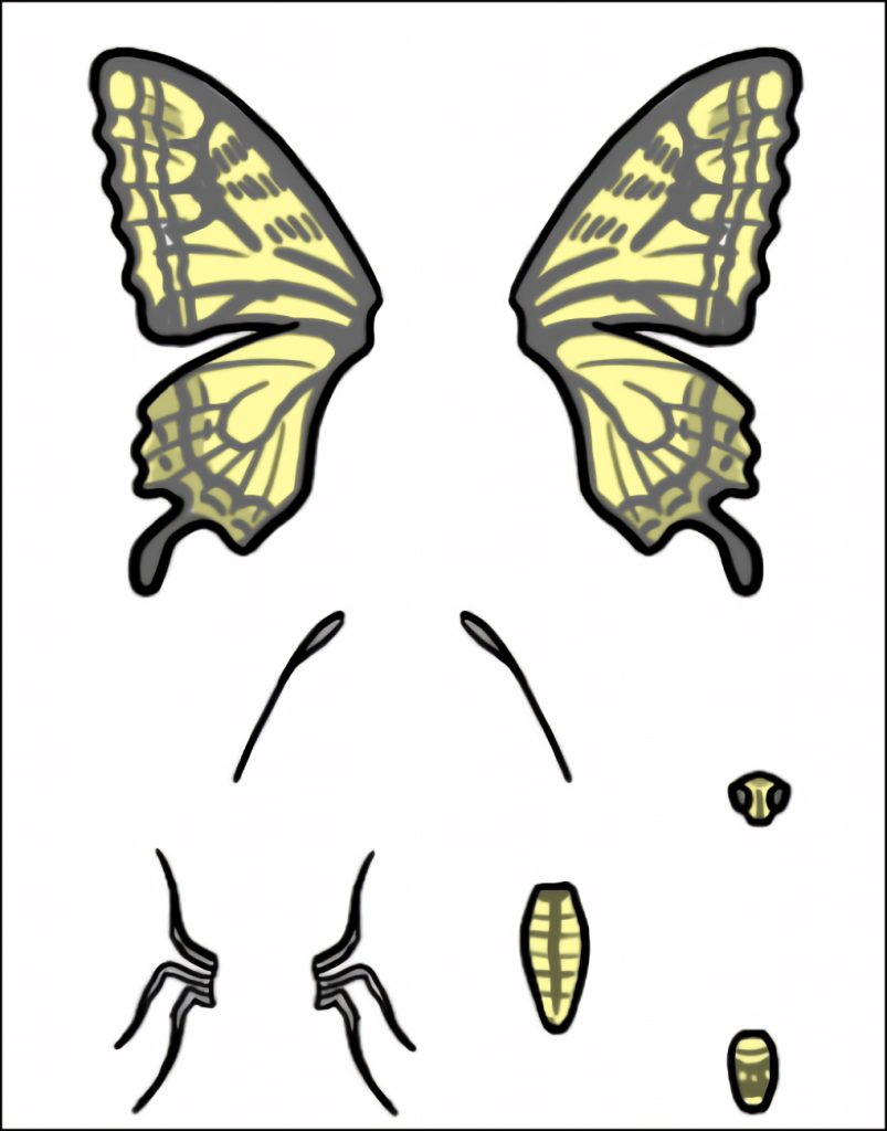 チョウの体パズル