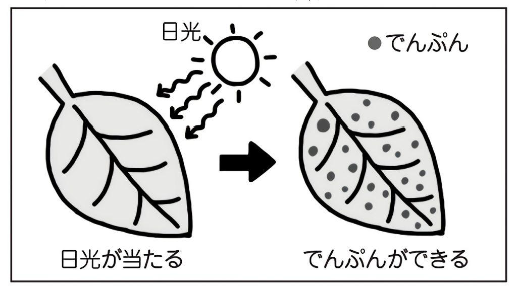 日光を当てるとでんぷんができる葉