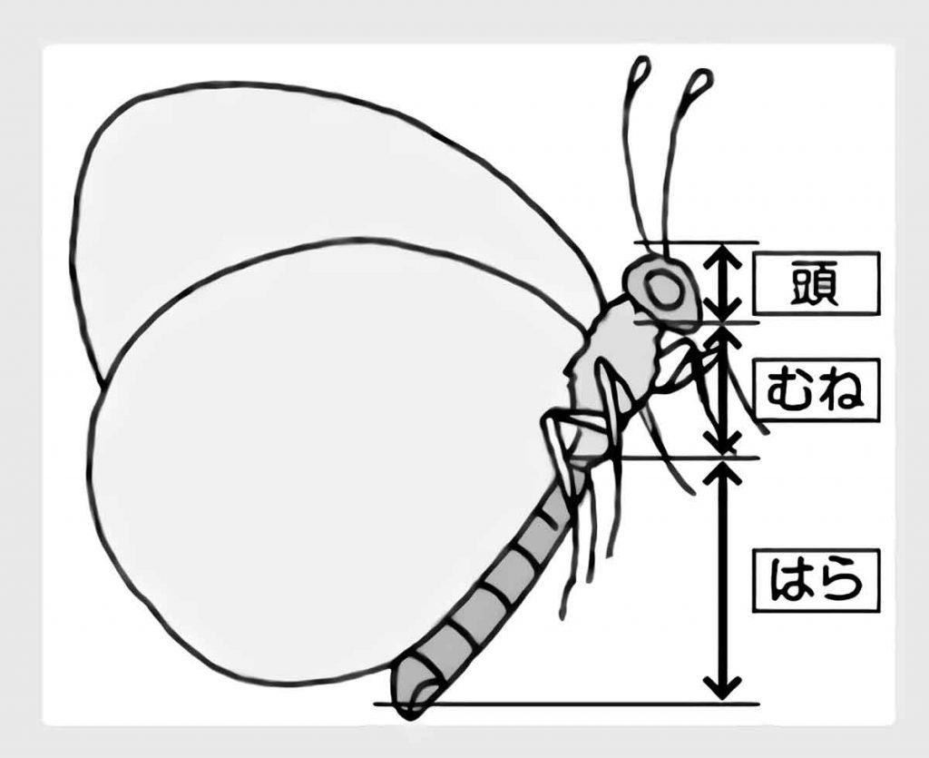 チョウのモデル図