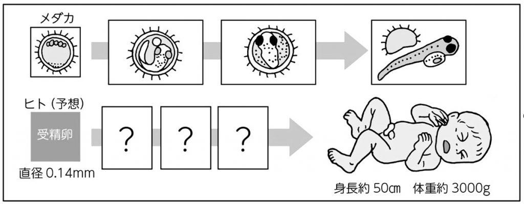 ヒト・メダカの受精卵~誕生までの推移(イラスト)