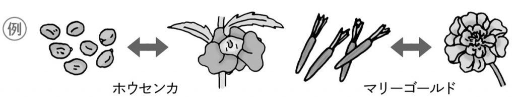 種から開花までの変化例(ホウセンカ・マリーゴールド)