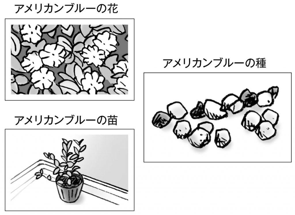 アメリカンブルーの花・種・苗